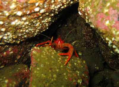 Squat lobster Oban Firth of Lorne scuba diving Scotland