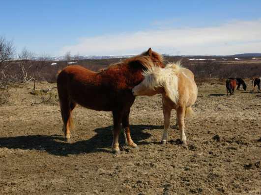 Icelandic horses Iceland Golden Circle