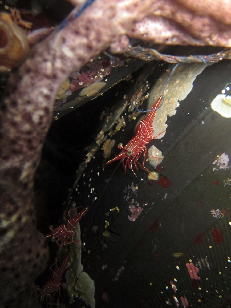 Shrimp Scubadiving Tulamben Amed Bali