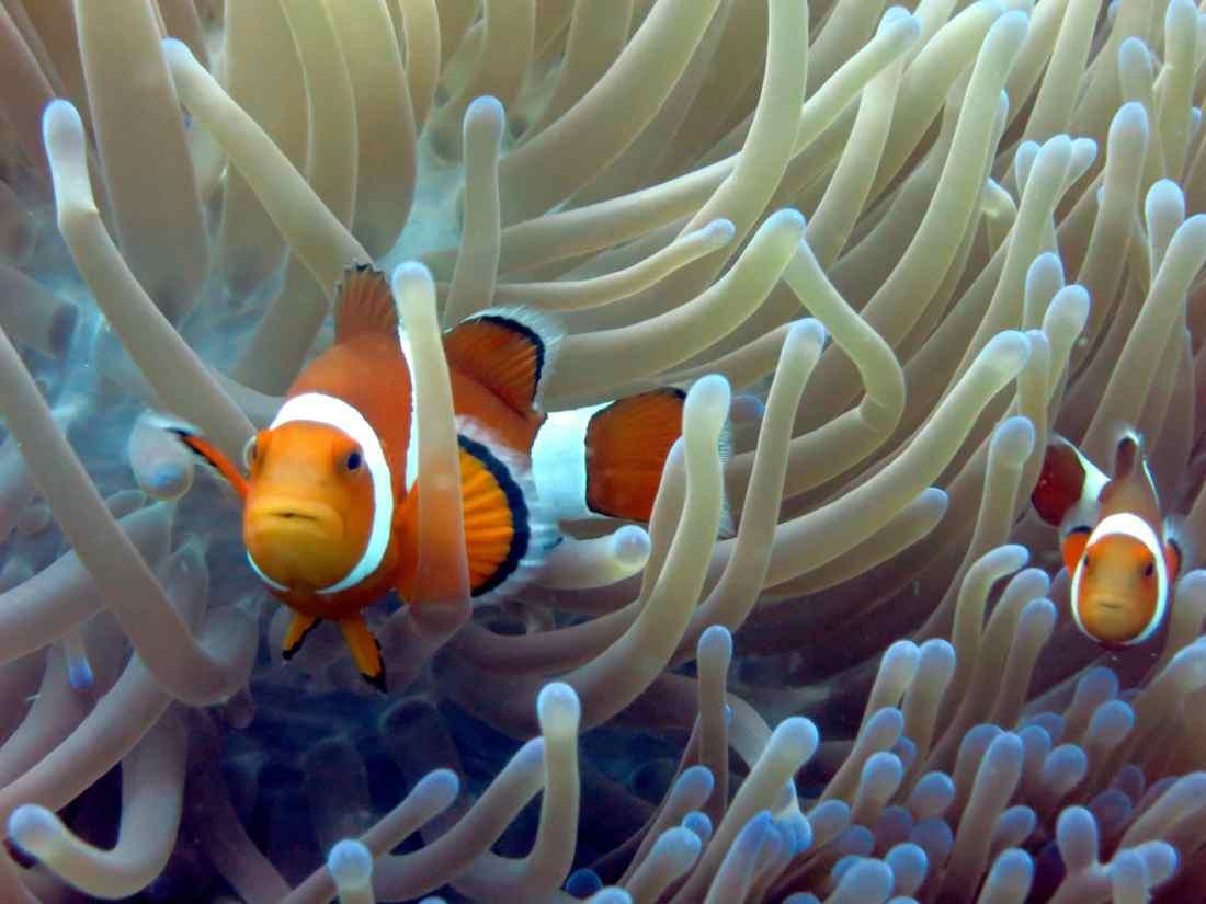 Clownfish Panglao Philippines - edit underwater photos