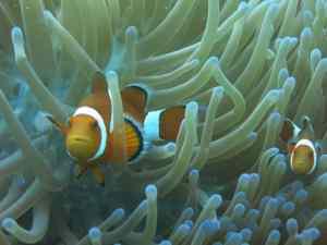 original clownfish picture
