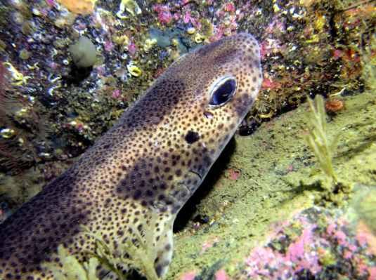 Dogfish scuba diving Sound of Mull Scotland