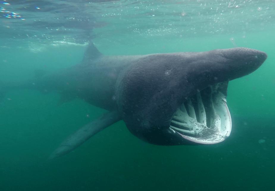 Basking shark Scotland - Best diving in Europe