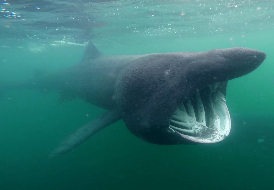 basking sharks scotland