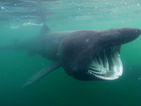 basking sharks scotland