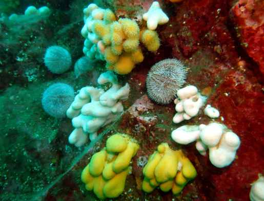 Sea urchins and soft coral scuba diving Farne Islands England UK