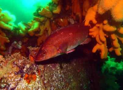 Scuba diving Scapa Flow Orkney Scotland