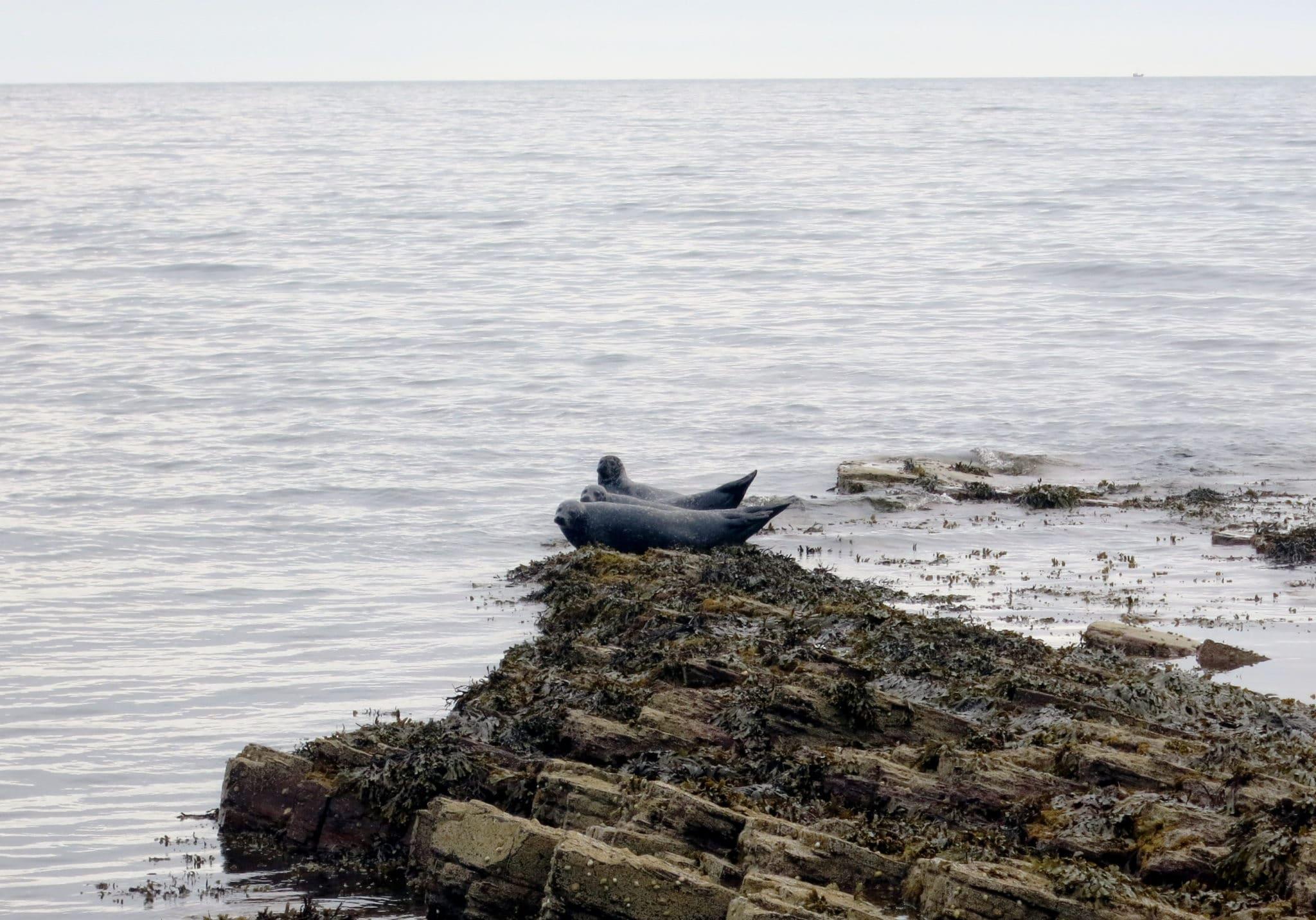 Seals Caithness Scotland