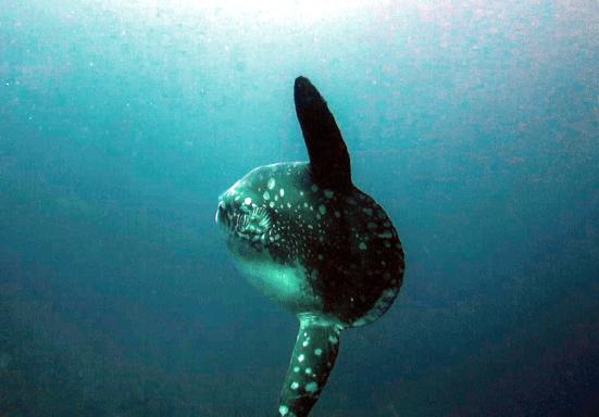 Mola-Mola Crystal Bay Nusa Lembongan Bali