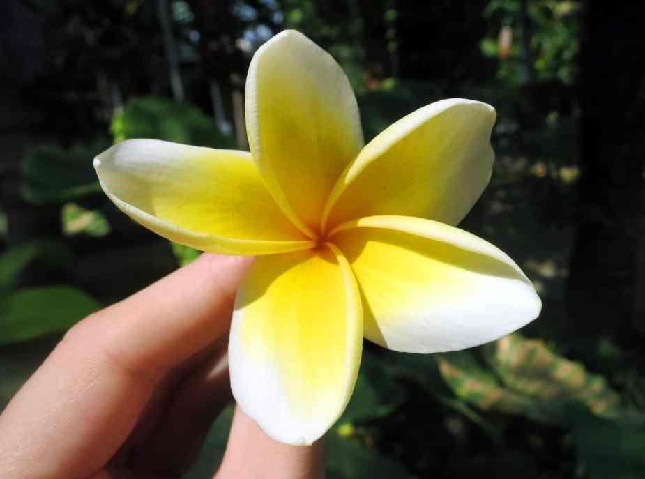 Frangipani flower Bali Indonesia