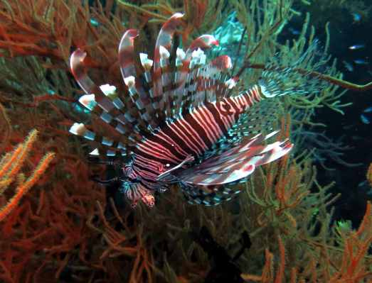 lionfish scuba diving Menjangan Island Bali Indonesia