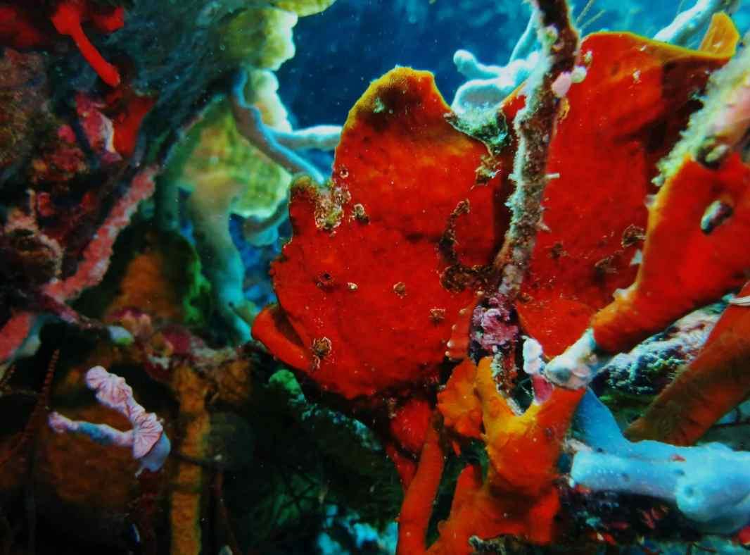 frogfish scuba diving Menjangan Island Bali Indonesia