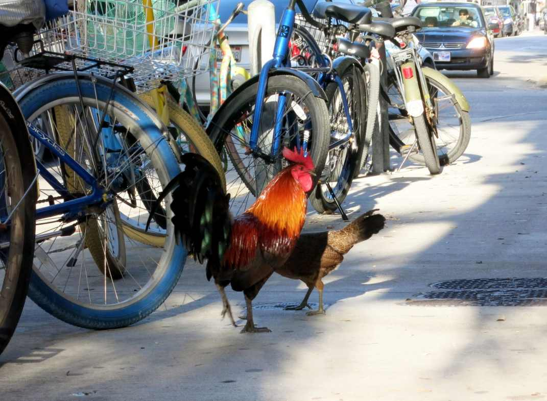 Roosters Key West Florida USA