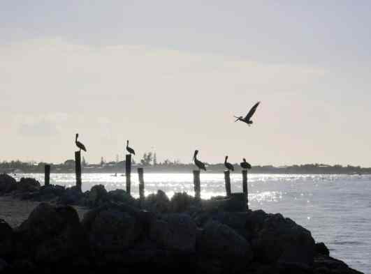 Pelicans Key Largo Florida USA