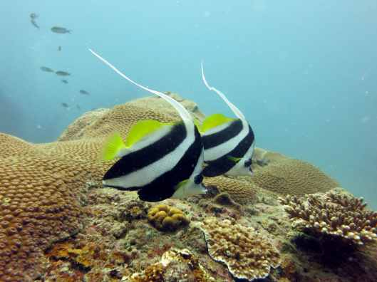 long fin banner fish scuba diving Koh Tao Thailand