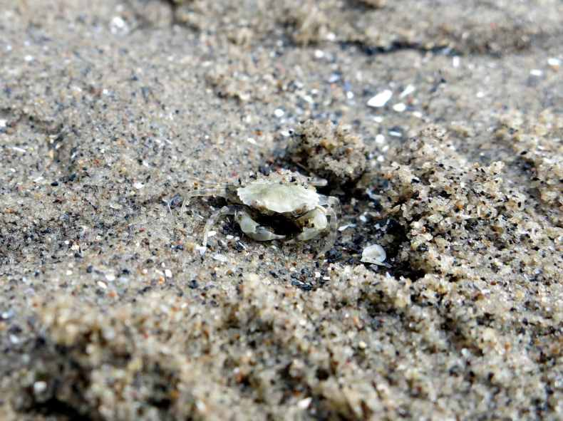 Shore crab Capturing our Coast survey Cramond Promenade Edinburgh Scotland