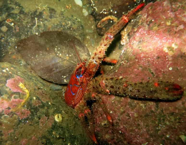 Spiny squat lobster