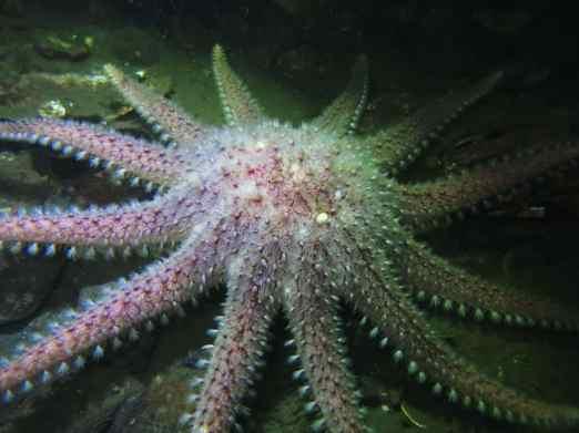 Sun starfish Gallanach Oban Scotland
