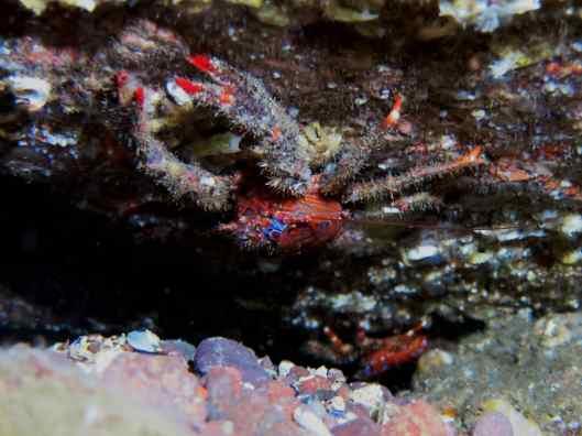 Spiny squat lobster Scuba diving St. Abbs Scotland UK