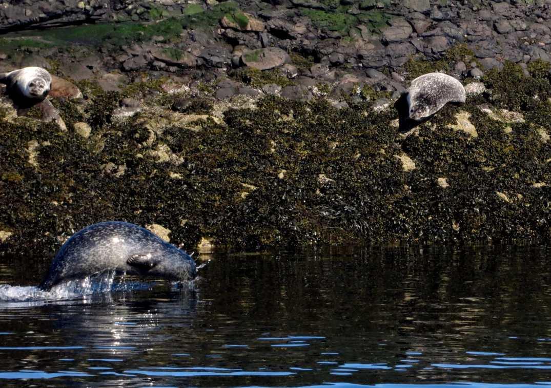 Grey seals Oban Scotland
