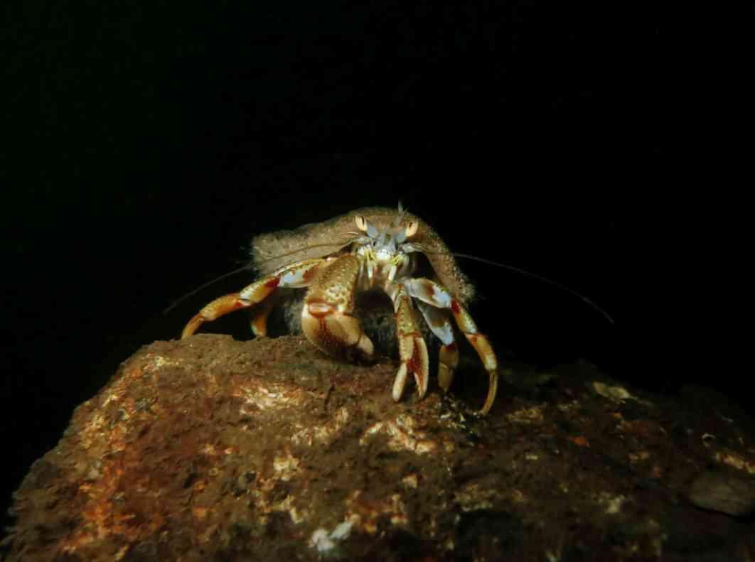 Hermit Crab Scuba diving Conger Alley Loch Long Arrochar Scotland