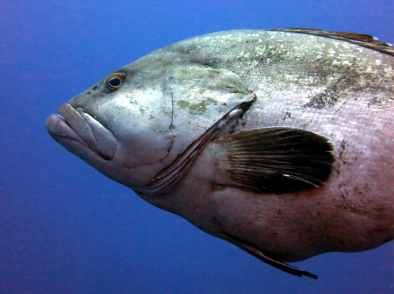 Grouper Scuba diving Portofino Italy