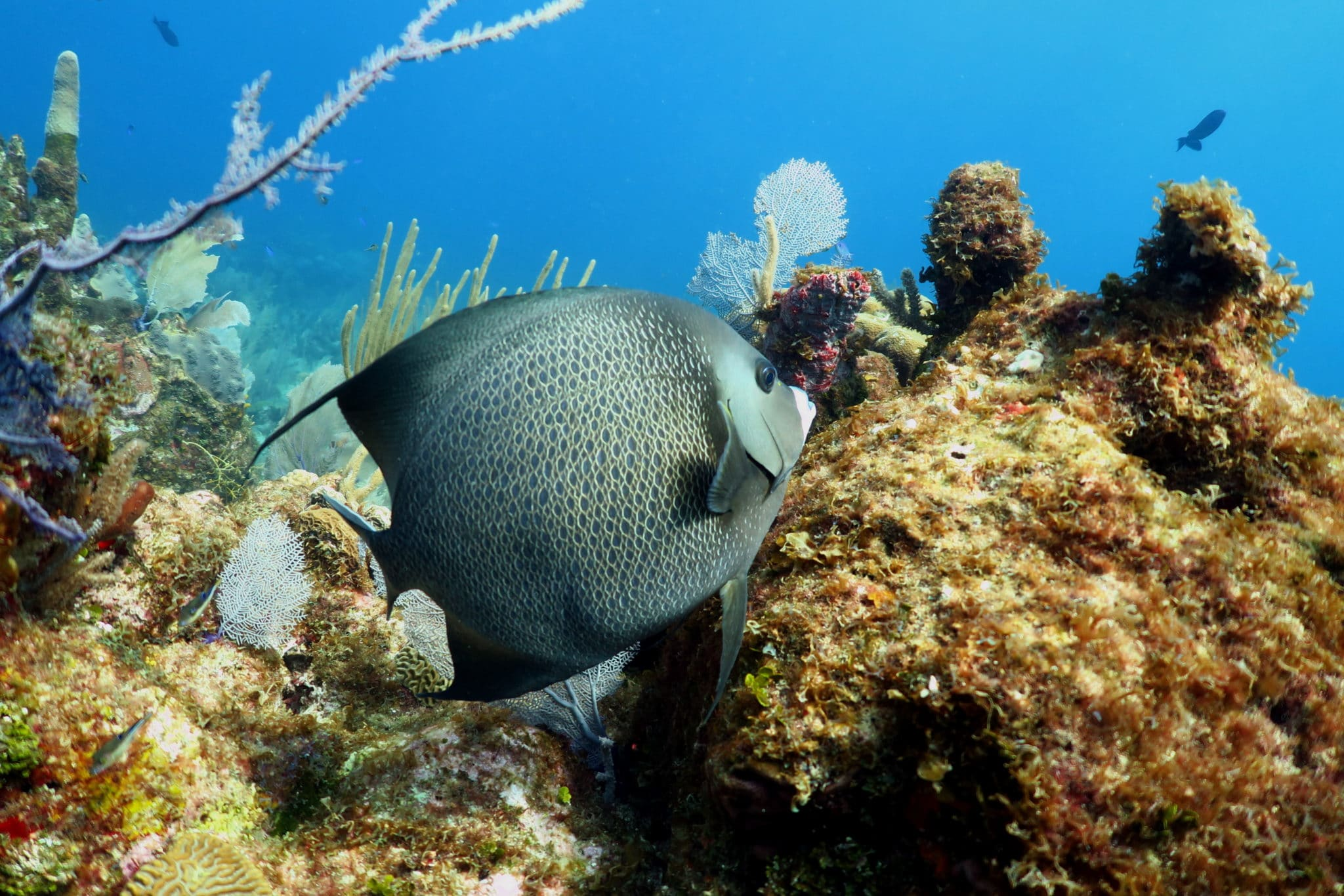French Angelfish scuba diving Utila Honduras
