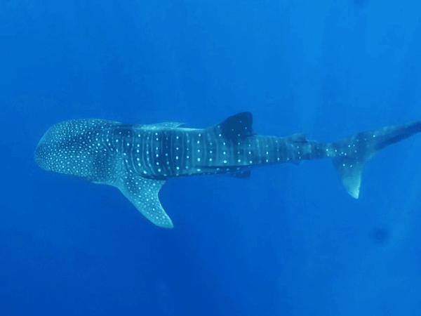 Whale sharks Utila Honduras March 2017