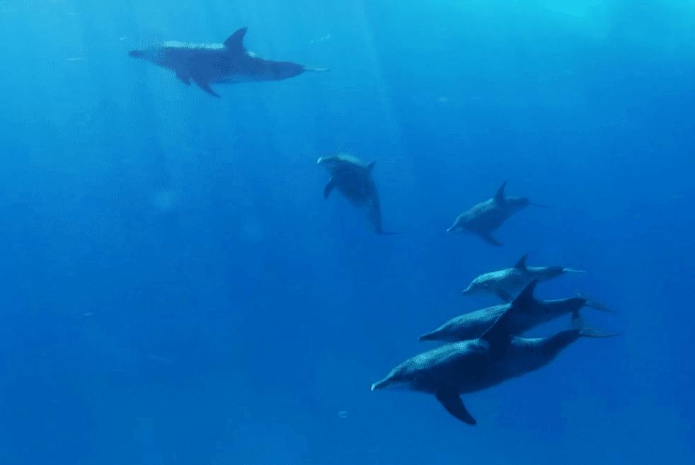 dolphin family in Utila Honduras