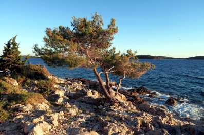 Pine tree Hvar Croatia