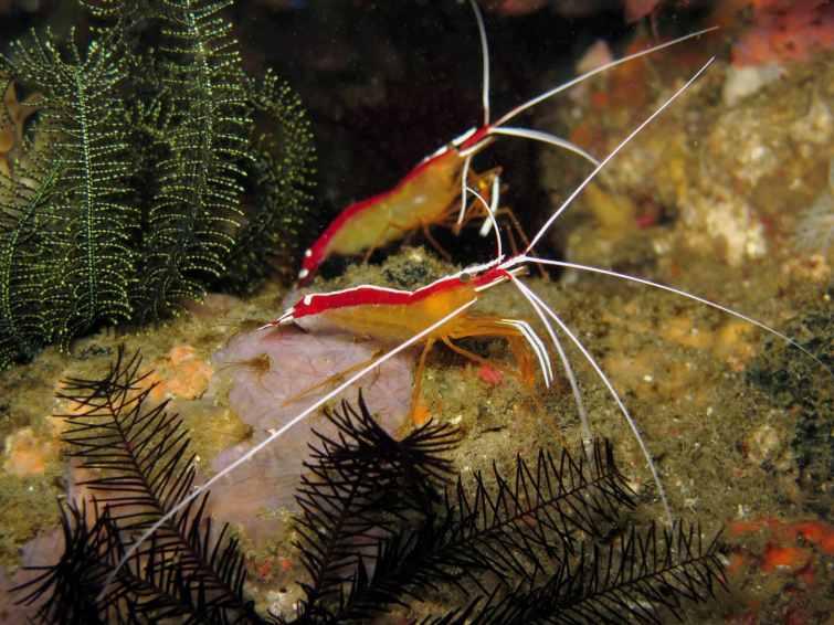 scarlet shrimps scuba diving in Malapascua Philippines