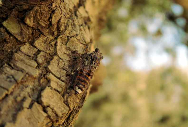 Cicada on an olive tree Porquerolles Island French Riviera