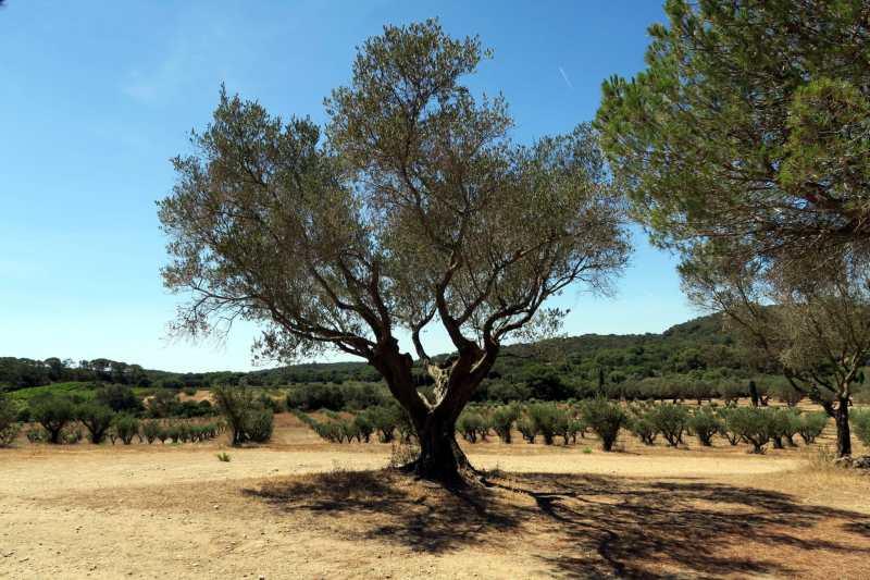 Olive trese Porquerolles Island French Riviera