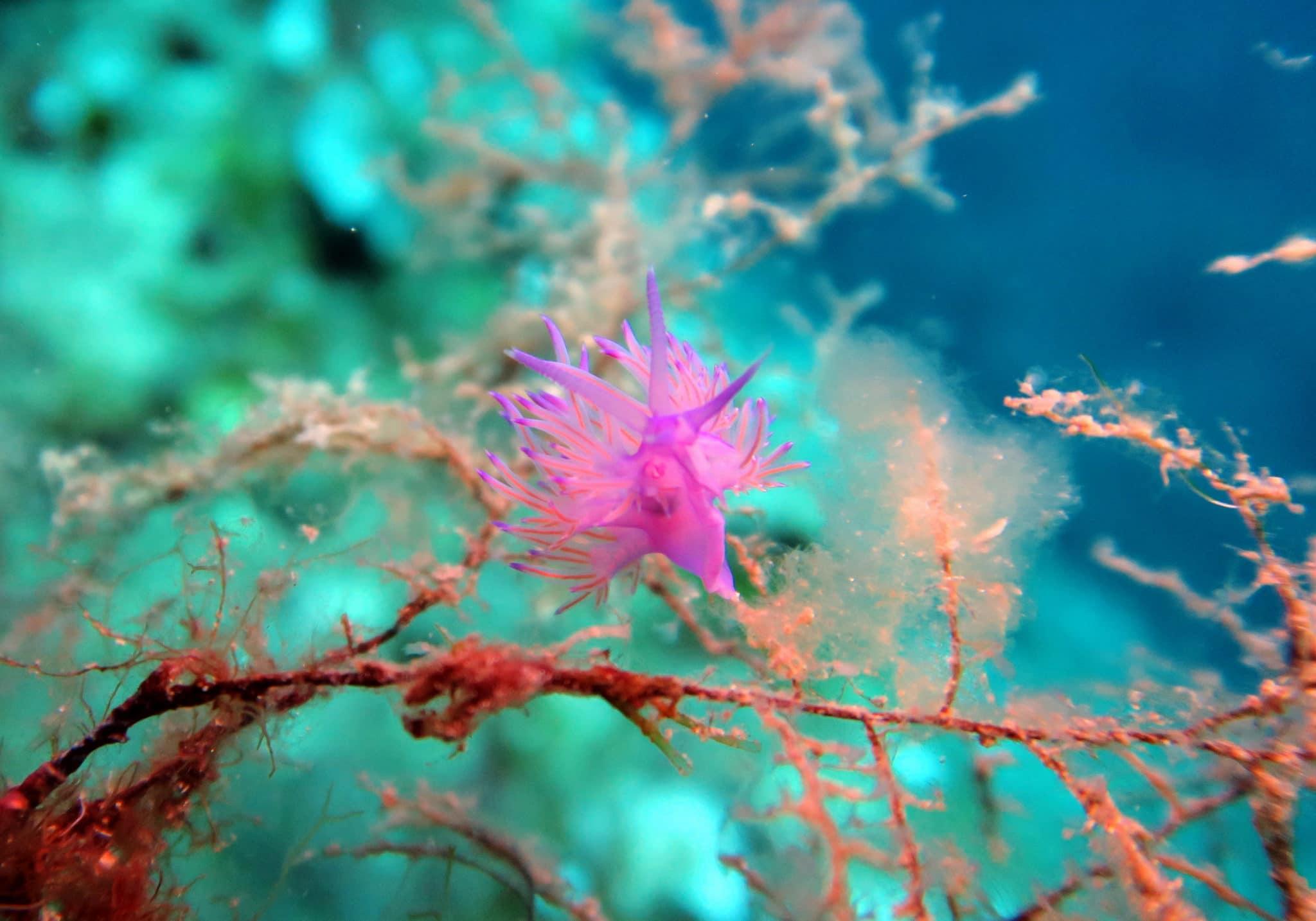 Flabellina nudibranch Scuba diving at Mourtias Reef Alonissos Greece