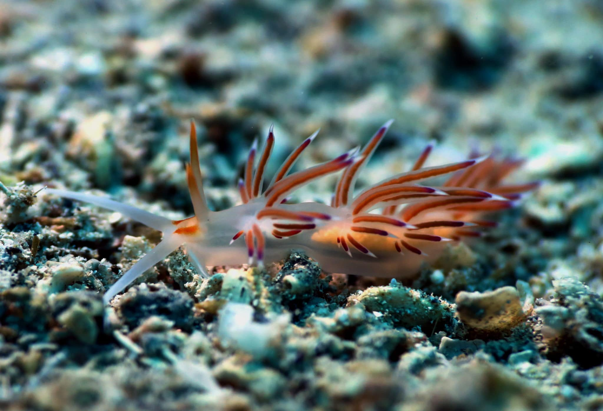 Hervia nudibranch Scuba diving at Agios Petros Reef Alonissos Greece