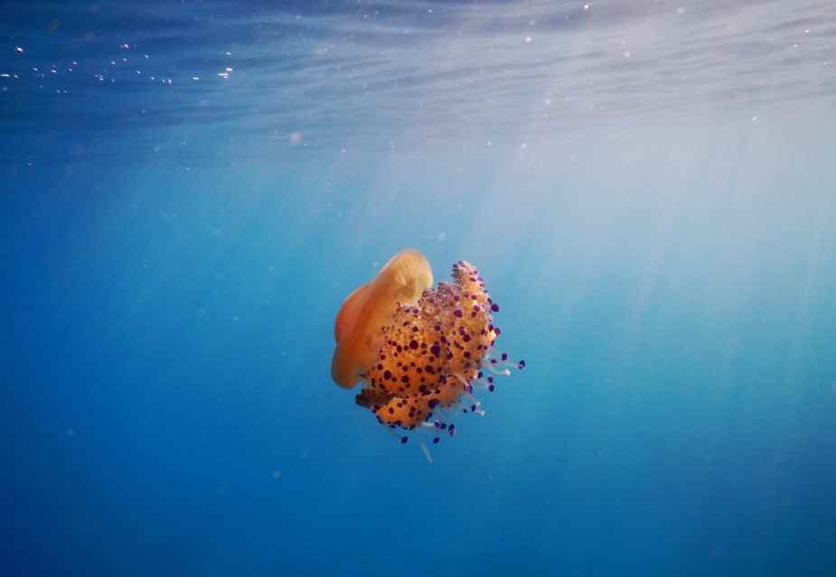Egg Jellyfish snorkelling in Alonissos Greece