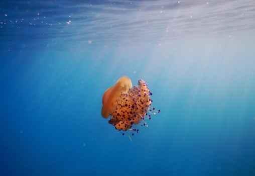 Egg Jellyfish snorkelling in Alonissos Greece
