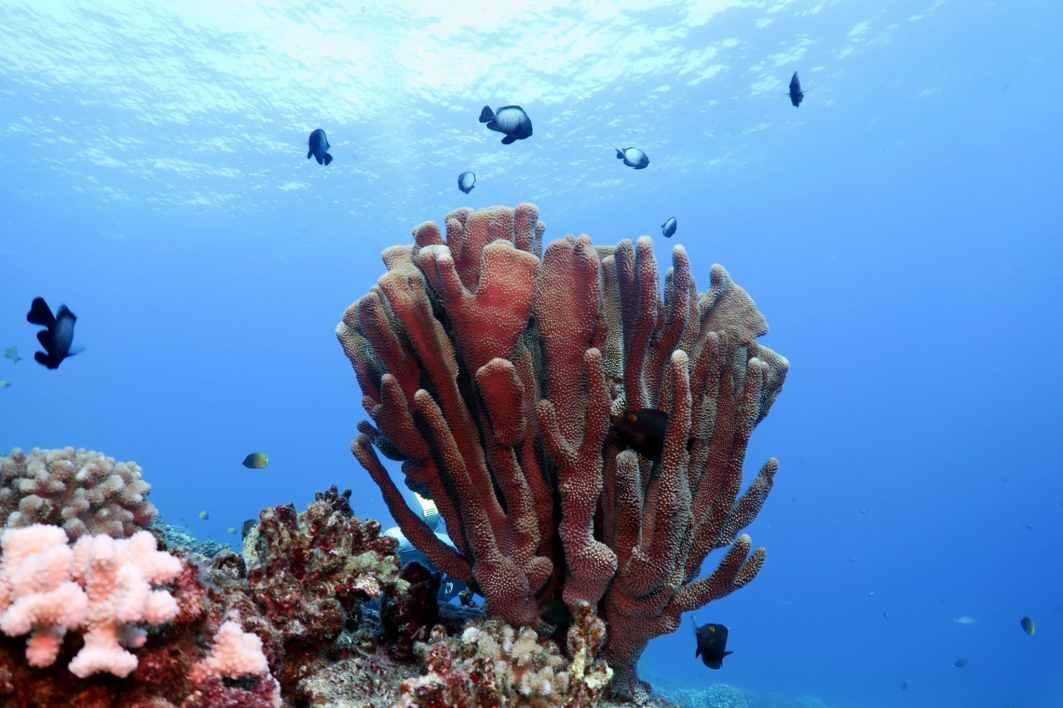Hawaiian Damselfish and Antler Coral - scuba diving in Middle Reef Molokini Crater Maui Hawaii USA
