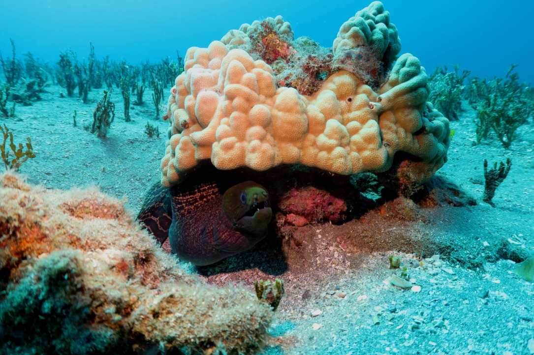 Moray eel - scuba diving in White Rock Makena Maui Hawaii USA