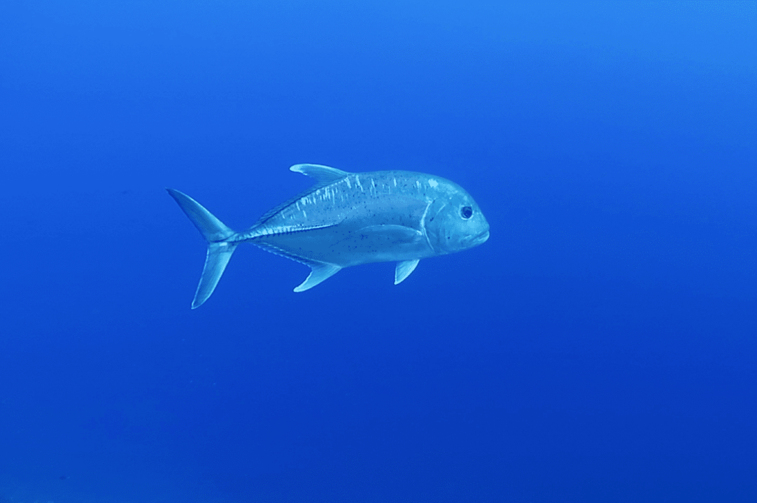 Giant Trevally - scuba diving in Middle Reef Molokini Crater Maui Hawaii USA