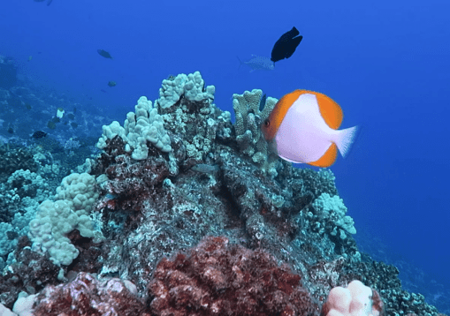 Pyramid Butterflyfish - scuba diving in Middle Reef Molokini Crater Maui Hawaii USA