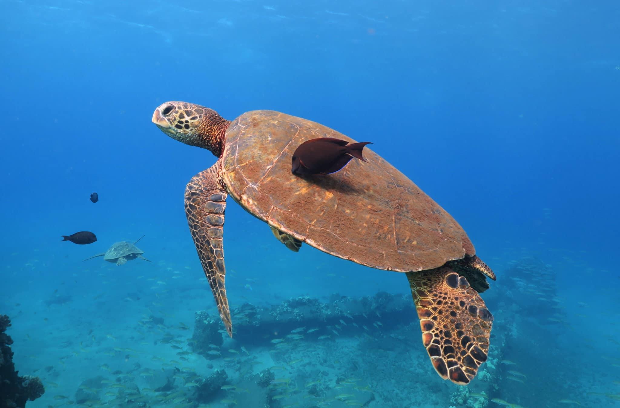 Turtle Mala Wharf shore diving Lahaina Maui Hawaii