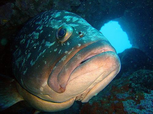 grouper meddes islands