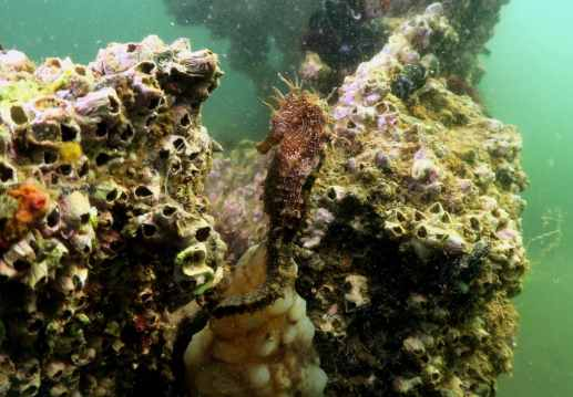 Seahorses scuba diving in Thau Lagoon France