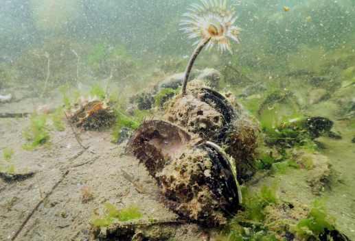 Seahorses scuba diving in Thau Lagoon France