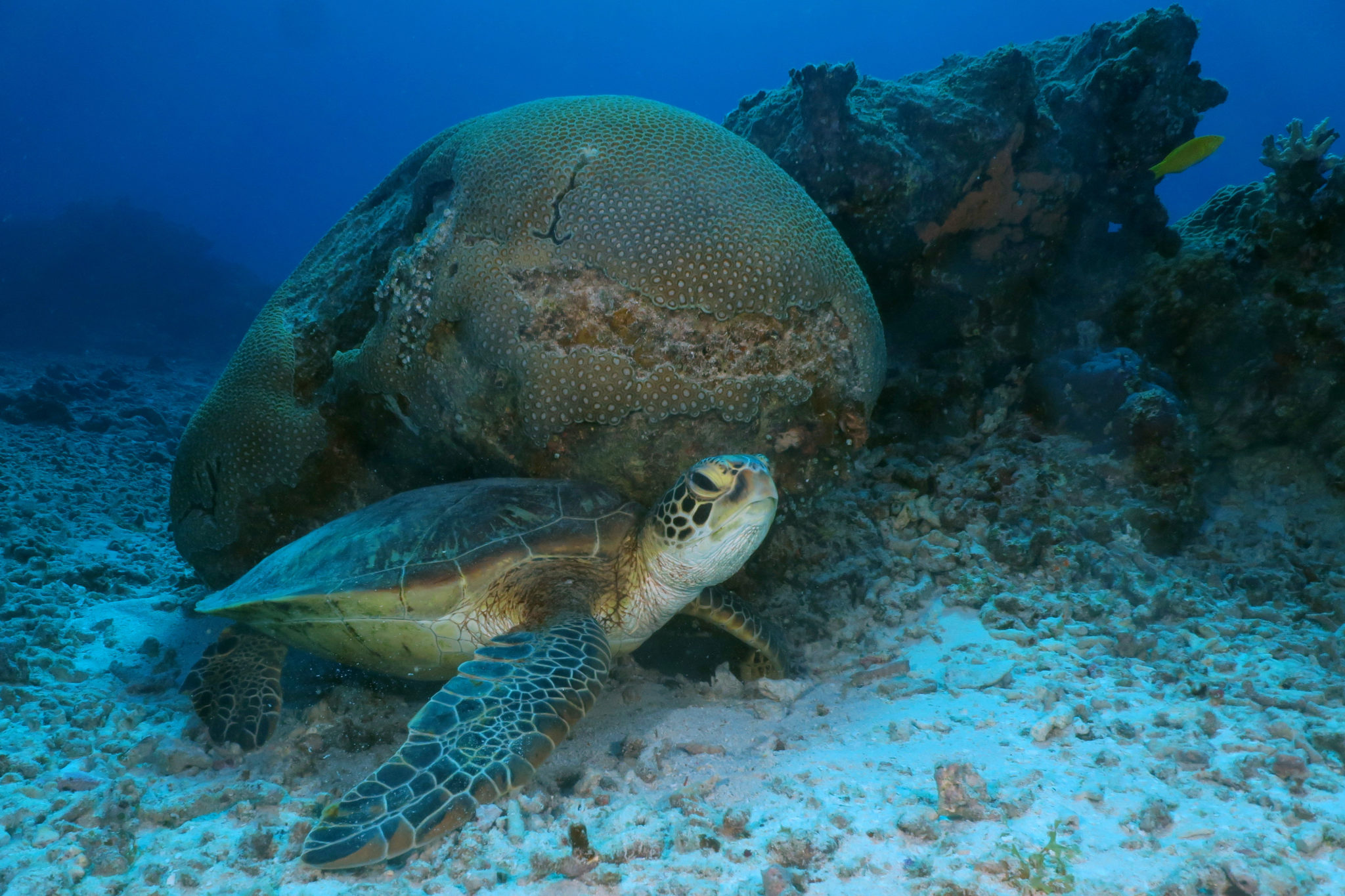 Turtle diving in Okinawa