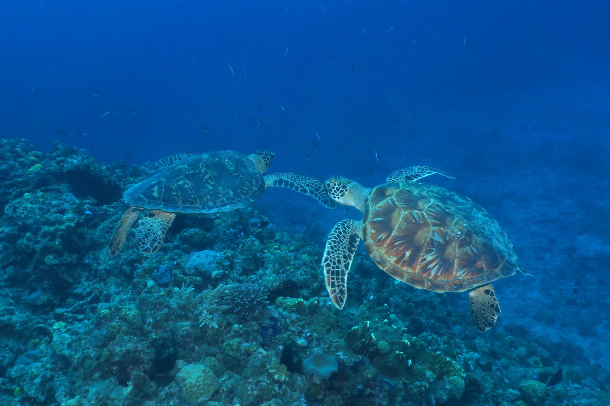 Tortues plongée Okinawa