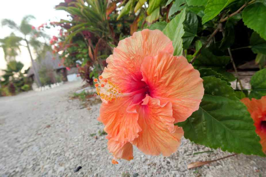 Hibiscus flower Ouvea New Caledonia