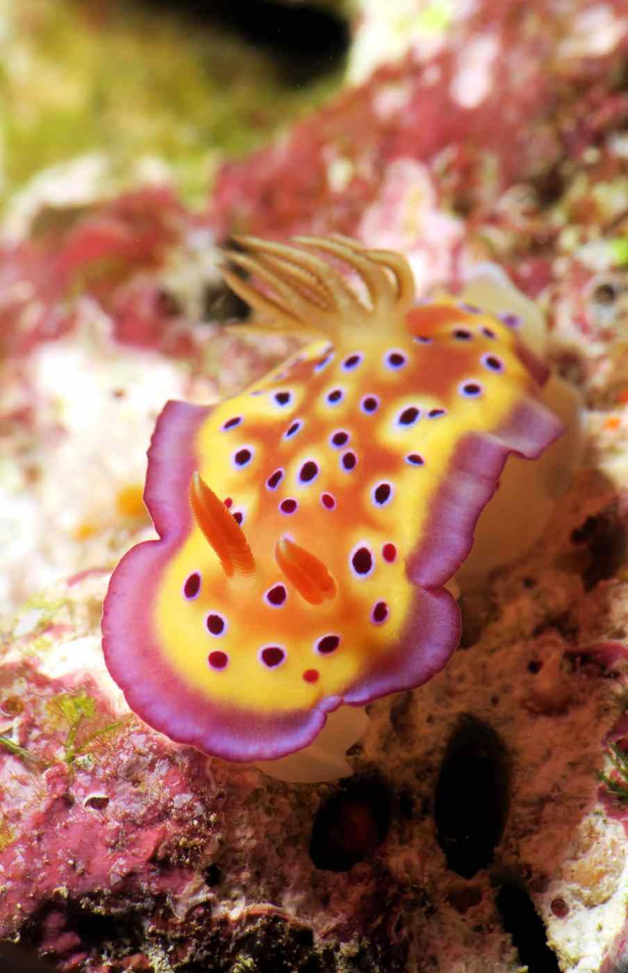 Chromodoris Kuniei nudibranch scuba diving Isleof Pines New Caledonia