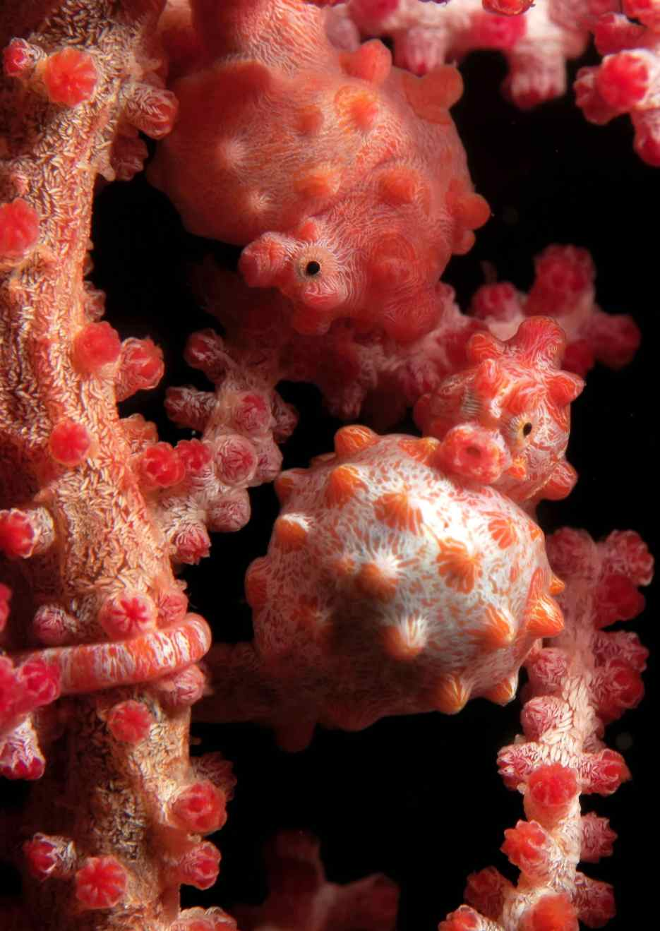 Pigmy Seahorse scuba diving Isle of Pines New Caledonia